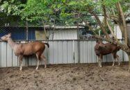 গাজীপুরে বঙ্গবন্ধু সাফারি পার্কে যুক্ত হচ্ছে নতুন দুই সাম্বার হরিণ